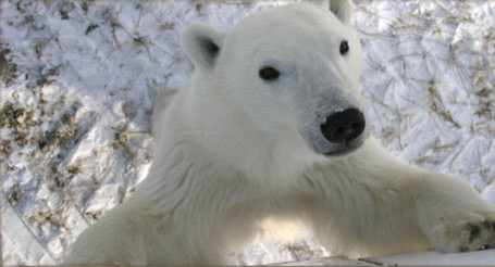 curious-polar-bear