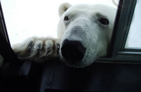 nosy-polar-bear