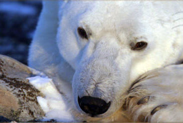polar-bear-eating