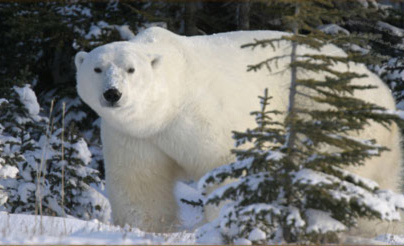 polar-bear-in-forest